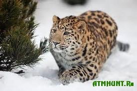 Novosibirskij zoopark podaril japoncam leoparda