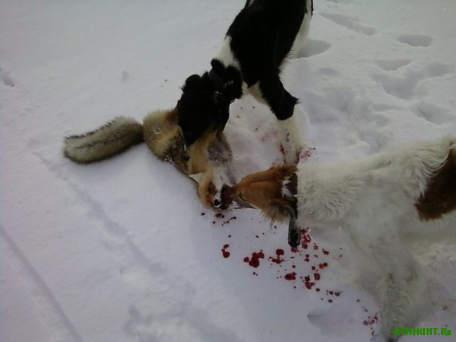 Ohota s russkimi psovymi borzymi