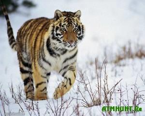 Pogib popavshij v kapkan amurskij tigr i tigrenok-sirota