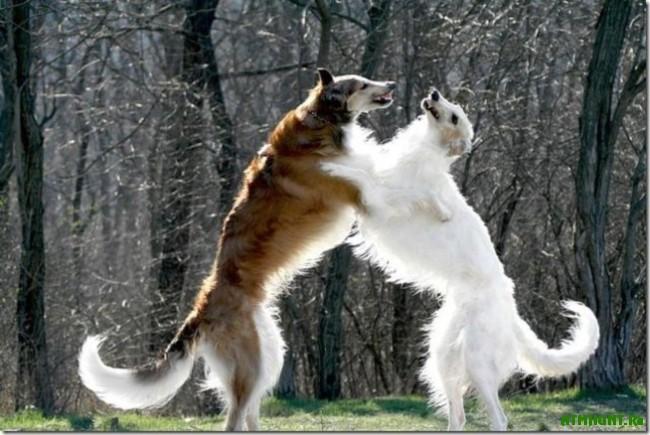 Russkaja psovaja borzaja. Harakter