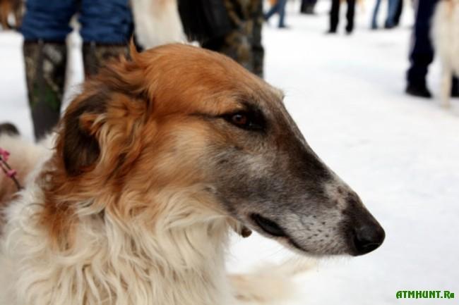 Russkaja psovaja borzaja