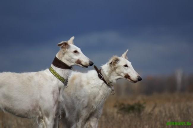 Russkaja psovaja borzaja1
