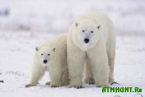 SShA i Rossija budut spasat' belyh medvedej vmeste