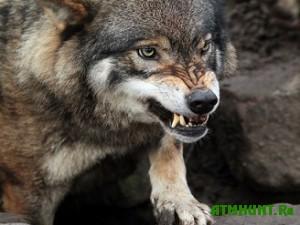 Shujskij volk ostalsja na svobode