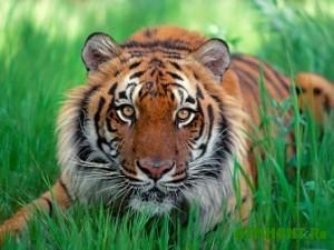 V Indii stalo v pjat' raz bol'she tigrov