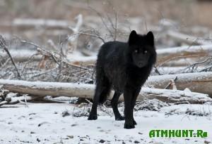 Vo Vsevolozhske podstrelili chernogo volka
