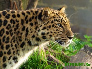 chislennost-dalnevostochnyx-leopardov-uvelichilos-v-15-raza