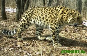 chislennost-dalnevostochnyx-leopardov-uvelichilos-v-15-raza1