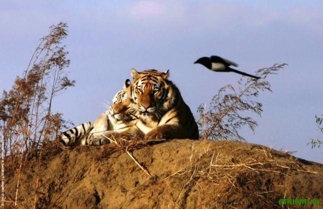gde_obitaet_amurskij_tigr