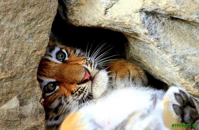 interesnye_fakty_o_amurskom_tigre