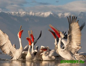 kudryavye-pelikany-vernulis-v-priazove