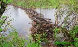 mogut-byt-zatopleny-bolshie-uchastki-lesa-cherez-plotiny-bobrov