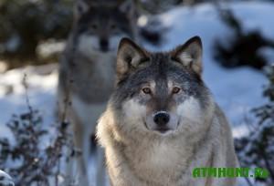 na-kinburnskoj-kose-snova-poyavilis-volki