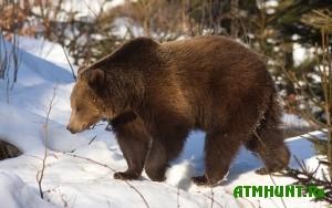 na-saxaline-v-etom-sezone-razresheno-otstrelit-okolo-500-medvedej