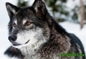 na-volyni-budut-umenshat-pogolovya-volkov