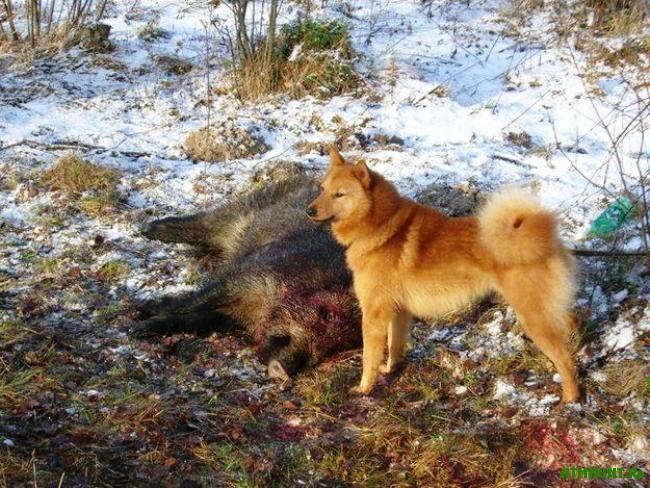 Охота с карело-финской лайкой на КАБАНА