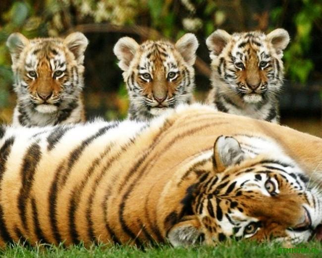 opisanie_amurskogo_tigra