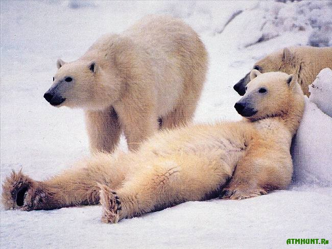 opisanie_belogo_medvedja