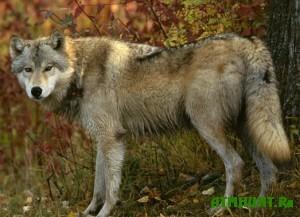oxota-na-matyorogo-volka-daleko-ne-vsegda-zakanchivaetsya-udachno