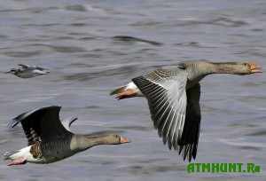 studenty-ekologi-prosyat-zapretit-oxotu-na-vodoplavayushhuyu-pticu