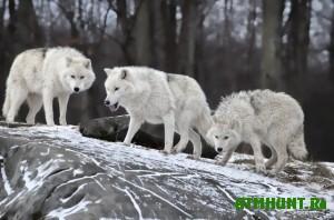 v-chunskom-rajone-priangarya-razreshili-ubit-trex-volkov