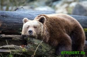v-tomskoj-oblasti-medvedi-iz-spyachki-vyjdut-v-aprele