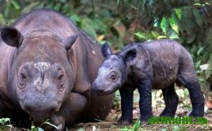 v-zimbabve-pensionerka-rastit-nosoroga