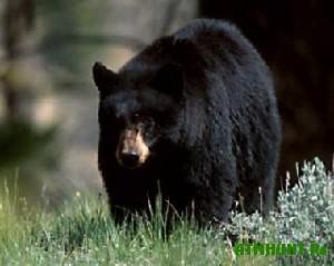 Aziatskij medved' naveki vnes svoju klichku v mirovuju istoriju
