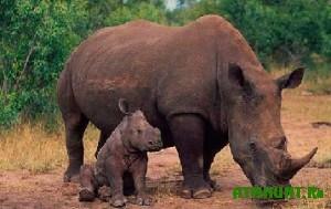 Brakon'ery bezzhalostno istrebljajut anglijskih nosorogov
