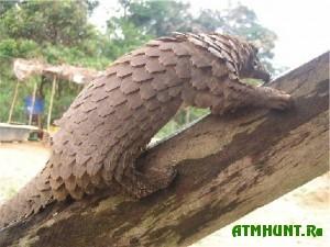 Na Filippinah brakon'ery dobyli 10 tonn krasnoknizhnyh pangolinov