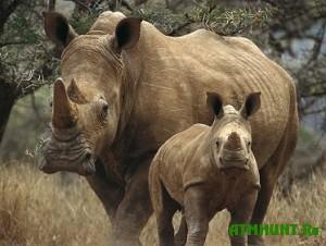 Nosorogam Juzhnoj Afriki krasjat roga rozovoj kraskoj