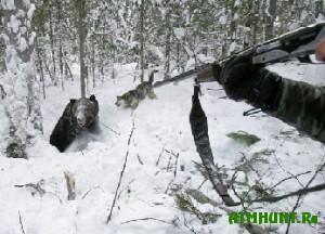 Ohotnich'i sobaki gibnut iz-za medvezh'ih primanok