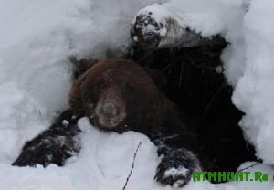 Vesnoj tomskie ohotniki otstreljat 300 medvedej
