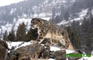 Za ubijstvo leoparda, barsa ili tigra pridetsja zaplatit' bolee milliona