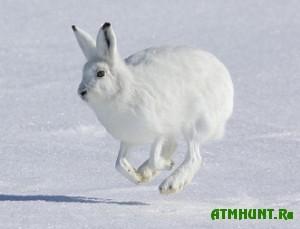 Zajac-beljak perestanet byt' belym