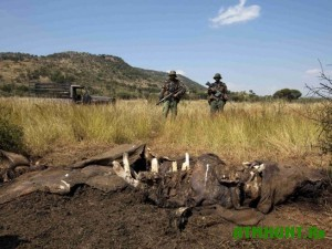 afrykanskimi-brakonerami-v-etom-godu-ubito-sotni-nosorogov