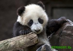 detenyshu-pandy-sdelayut-test-na-otcovstvo