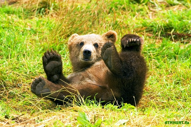 interesnye_fakty_o_burom_medvede