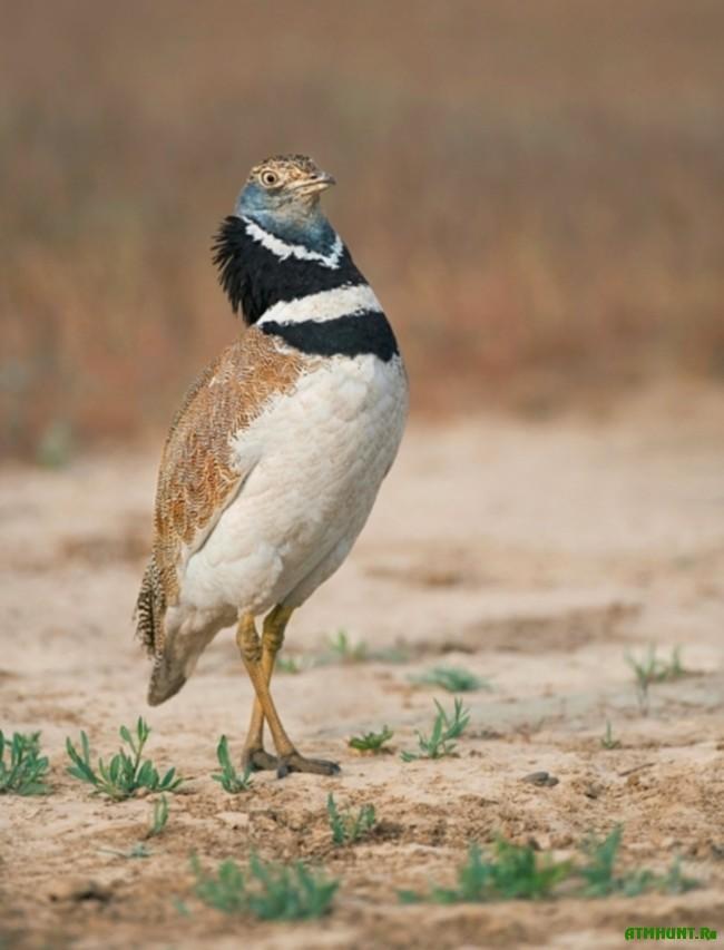 ptica strepet 1