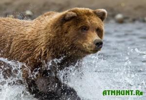 v-belarusii-budut-uvelichivat-populyaciyu-medvedej