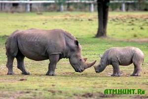 v-indii-v-nacionalnom-parke-manas-rodilsya-eshhe-odin-nosorog