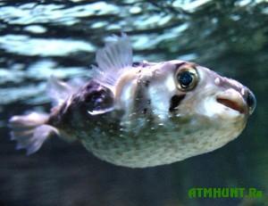 v-mirovom-okeane-stremitelno-razmnozhaetsya-yadovitaya-ryba-fugu