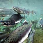 Важные подробности нереста рыбы