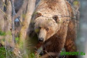 Karel'skim brakon'eram ne dali pojmat' medvedja