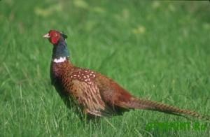 Ohotovedy Doneckoj oblasti razvodjat fazanov