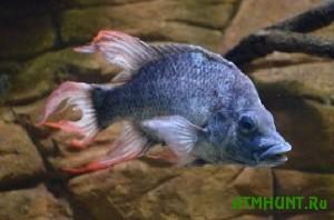U redchajshih ryb ne ostaetsja shansov na vyzhivanie iz-za konfliktov samcov s samkami