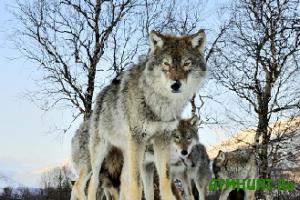 V Odesskoj oblasti udalos' sushhestvenno sokratit' pogolov'e volkov