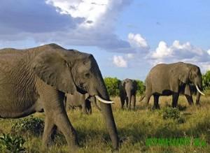 V WWF podveli pechal'nye itogi bor'by s brakon'erskim otstrelom slonov