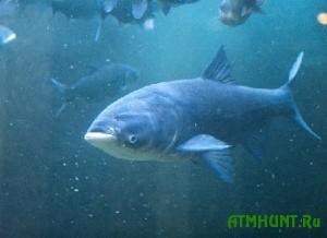 V priazovskih vodoemah teper' mozhno lovit' karpa, belogo amura i tolstolobika