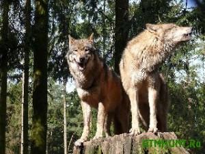 Agressivnye volki begut v Ukrainu iz Kavkaza